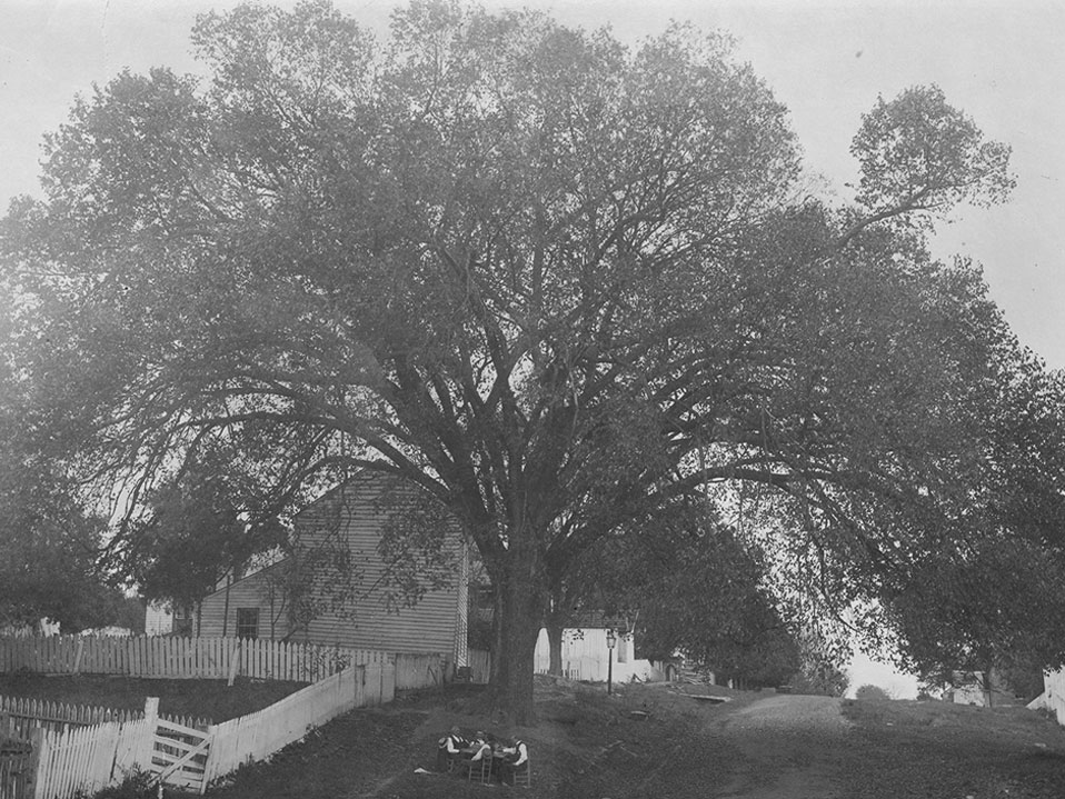 Old Constitution Elm photo